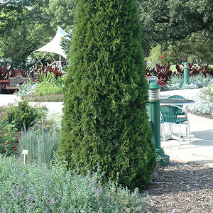 Emerald Green Arborvitae (Thuja occidentalis 'Smaragd')