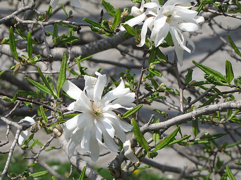 Royal Star Magnolia (Magnolia stellata 'Royal Star')