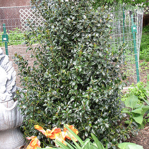 Blue Maid Meserve Holly  Ilex x meserveae 'Mesid'