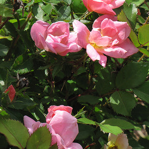 Rainbow Knock Out® Rose (Rosa 'Radcor')