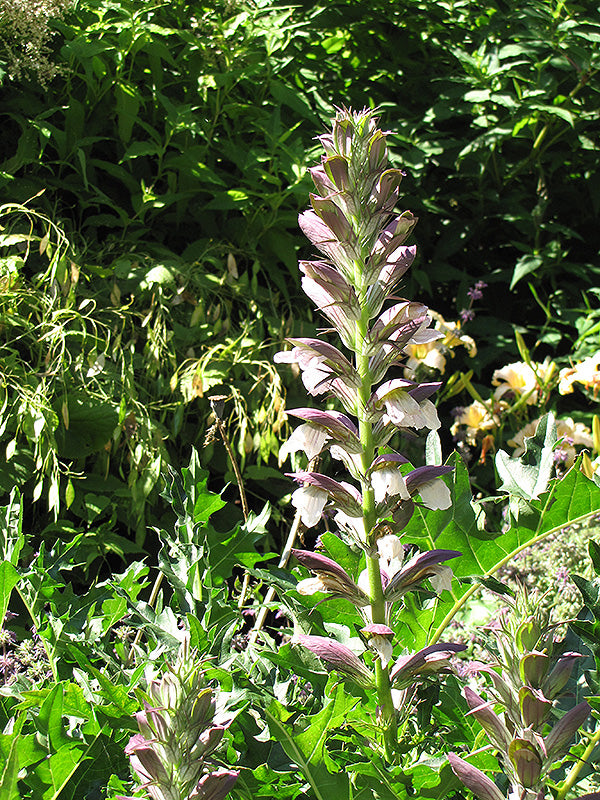 Bear's Breeches (Acanthus spinosus)