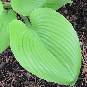 Sum and Substance Hosta (Hosta 'Sum and Substance')
