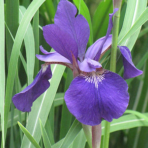 Caesar's Brother Siberian Iris (Iris sibirica 'Caesar's Brother')