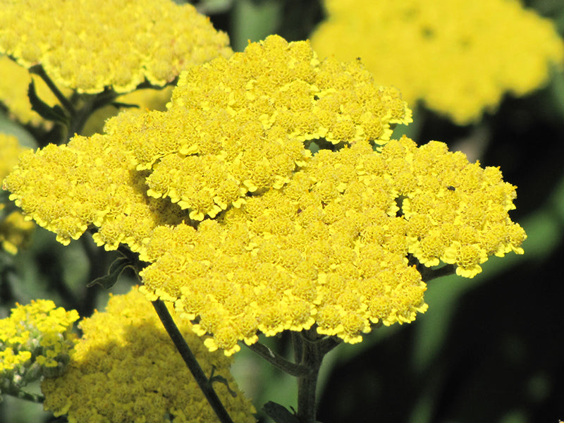 Moonshine Yarrow (Achillea 'Moonshine')