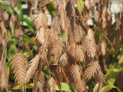 Northern Sea Oats (Chasmanthium latifolium)