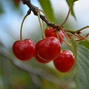 Montmorency Cherry (Prunus 'Montmorency')