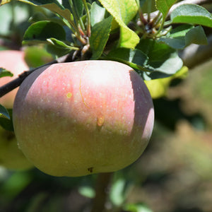 Fuji Apple (Malus 'Fuji')