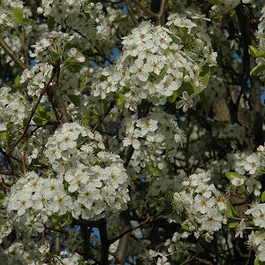 Chanticleer Ornamental Pear (Pyrus calleryana 'Chanticleer')
