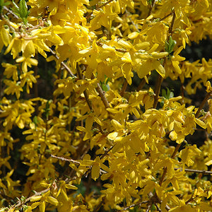 Lynwood Gold Forsythia (Forsythia x intermedia 'Lynwood Gold')