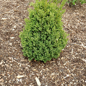 Green Mountain Boxwood (Buxus 'Green Mountain')