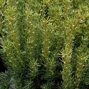 Fairview Yew (Taxus x media 'Fairview')