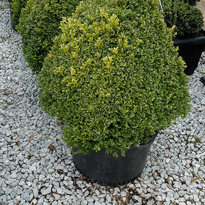 Green Mountain Boxwood (pyramid form) (Buxus 'Green Mountain (pyramid)')