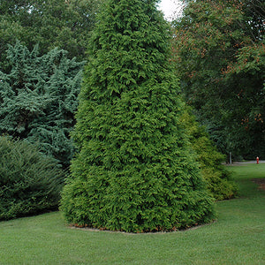 Green Giant Arborvitae (Thuja 'Green Giant')