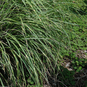 Little Zebra Dwarf Maiden Grass (Miscanthus sinensis 'Little Zebra')