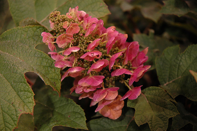 Ruby Slippers Hydrangea (Hydrangea quercifolia 'Ruby Slippers')