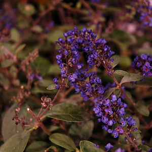 Lo And Behold® Blue Chip Junior Dwarf Butterfly Bush (Buddleia 'Lo And Behold Blue Chip Junior')