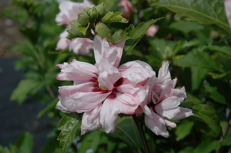 Blushing Bride Rose Of Sharon (Hibiscus syriacus 'Blushing Bride')