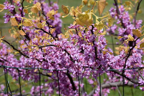 The Rising Sun Redbud  Cercis canadensis 'The Rising Sun'