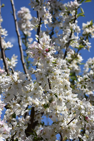 Sugar Tyme Flowering Crab (Malus 'Sugar Tyme')
