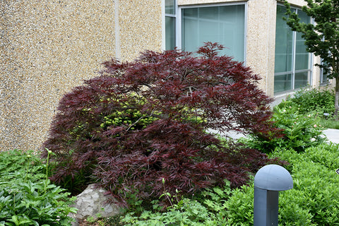 Red Dragon Japanese Maple  Acer palmatum 'Red Dragon'