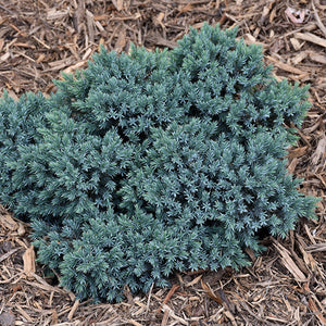 Blue Star Juniper (Juniperus squamata 'Blue Star')