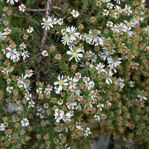 Snow Flurry Aster (Aster ericoides 'Snow Flurry')