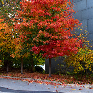 Fall Fiesta Sugar Maple (Acer saccharum 'Bailsta')