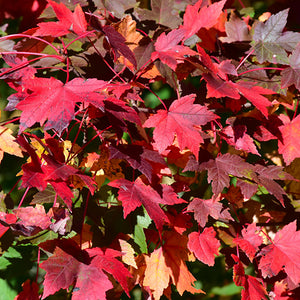 Redpointe Red Maple (Acer rubrum 'Redpointe')