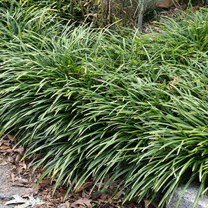 Big Blue Lily Turf (Liriope muscari 'Big Blue')