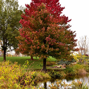 Red Sunset Red Maple (Acer rubrum 'Red Sunset')
