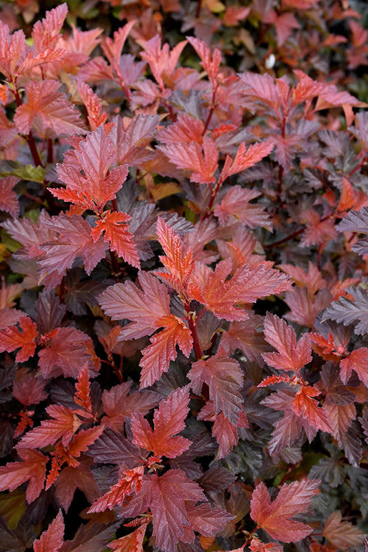 Coppertina® Ninebark (Physocarpus opulifolius 'Mindia')