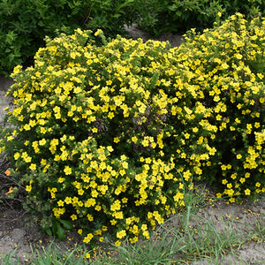 Dakota Sunspot Potentilla (Potentilla fruticosa 'Fargo')