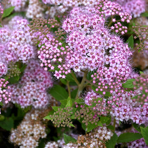 Little Princess Spirea (Spiraea japonica 'Little Princess')