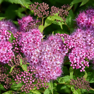 Anthony Waterer Spirea (Spiraea x bumalda 'Anthony Waterer')