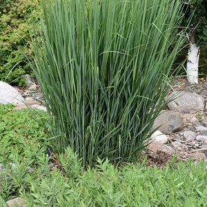Northwind Switch Grass (Panicum virgatum 'Northwind')