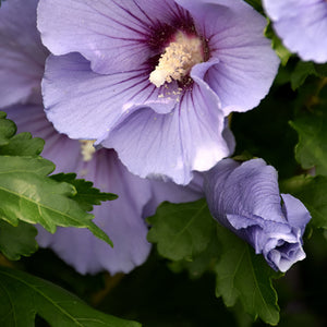 Blue Satin® Rose of Sharon (Hibiscus syriacus 'Marina')