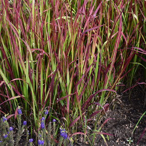 Red Baron Japanese Blood Grass (Imperata cylindrica 'Red Baron')