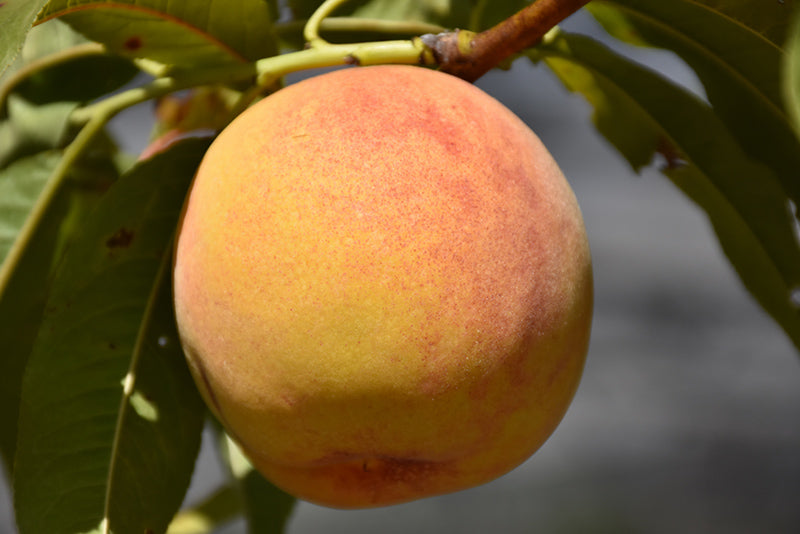 Reliance Peach (Prunus persica 'Reliance')