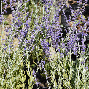 Little Spire Russian Sage (Perovskia 'Little Spire')