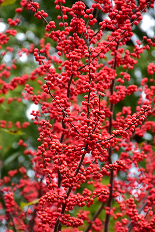 Winter Red Winterberry (Ilex verticillata 'Winter Red')