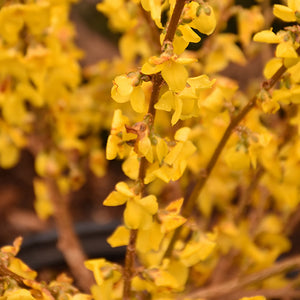 Show Off® Forsythia (Forsythia x intermedia 'Mindor')
