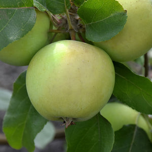 Lodi Apple (Malus 'Lodi')