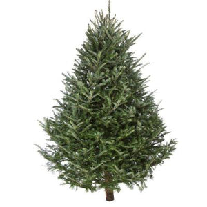 3-4' Fresh Cut Canaan Fir