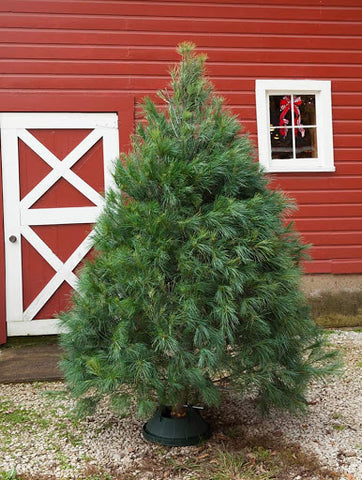 White Pine Fresh Cut Christmas Tree