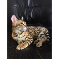 Example of Bespoke Design - Mookie the Bengal Cat