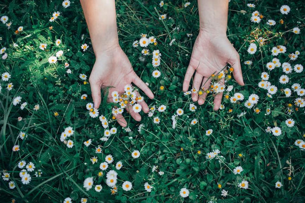 Chamomile: A flower with many benefits