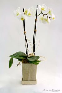 Classy Orchid Garden Orchids