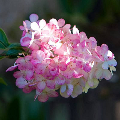 50Pcs Vanilla Strawberry Hydrangea Flower