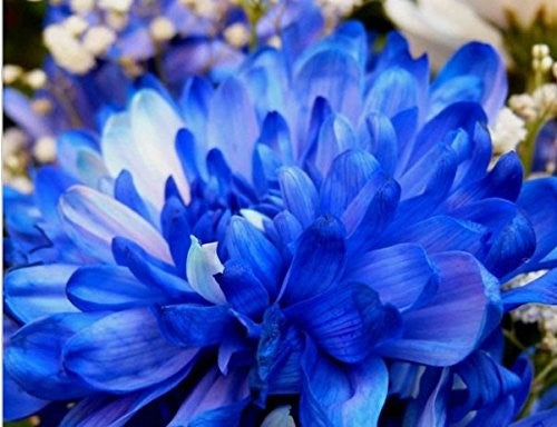 100 pcs/bag Rare Blue White Color Chrysanthemum Seeds