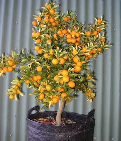 indoor/outdoor 100 Seeds Kumquat Small Fruit Bearing Tree